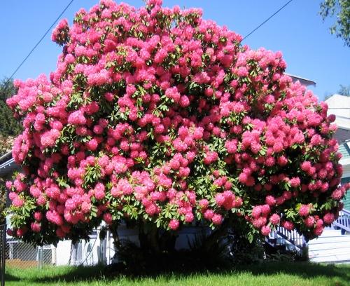 camelia tree