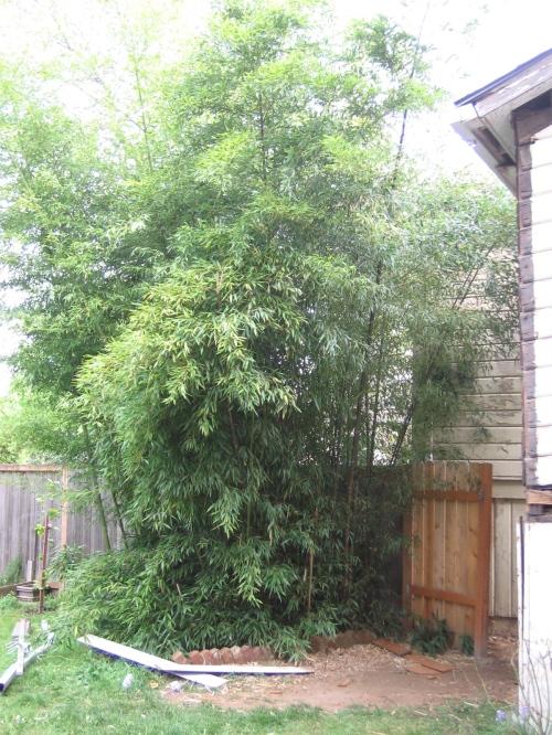 overgrown bamboo