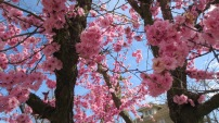 the beauty of pink blossoms in the spring
